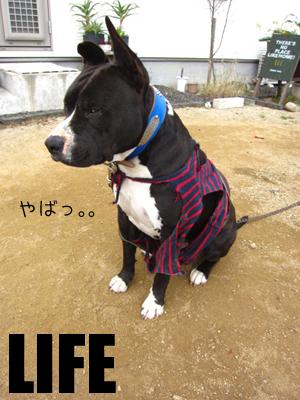 犬服。。。その後