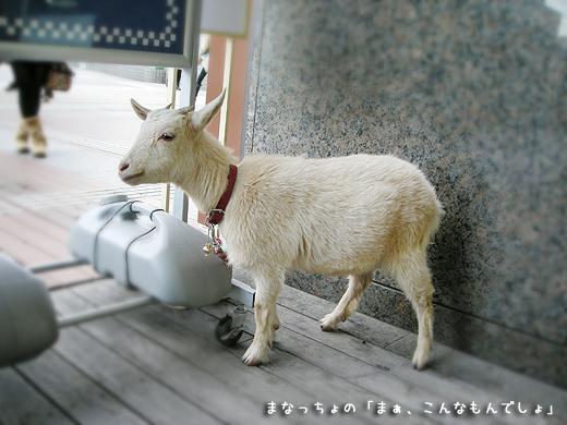 新宿にいたヤギ