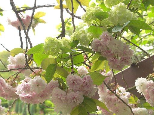 八重桜とおおでまり