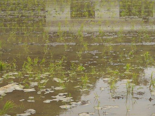 シロウトの田植え