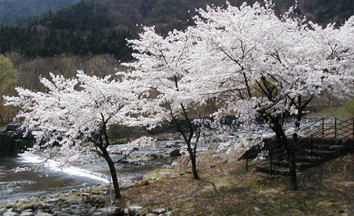 大日堂跡に咲くソメイヨシノ