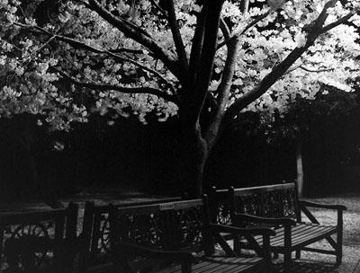 ベンチとサクラ Photo by hiyama