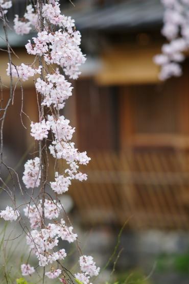 祇園白川枝垂れ2