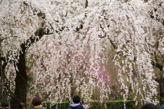 御苑糸桜2