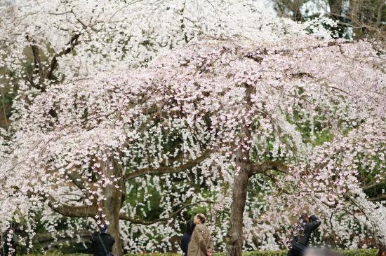 御苑糸桜1