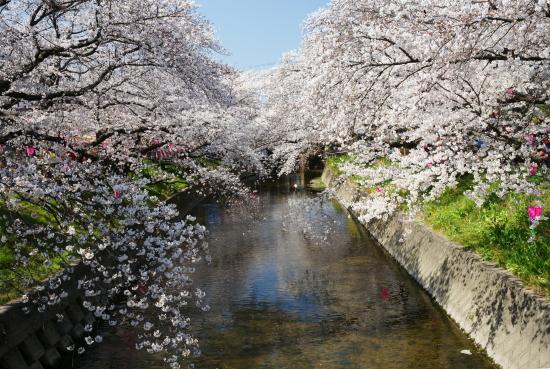 五条川桜2011-1