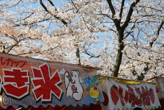 五条川桜2011-2