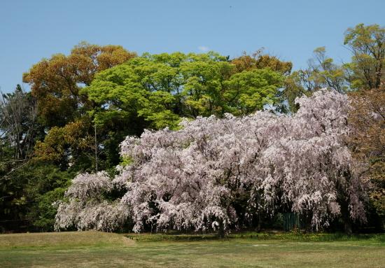 京都桜2009-9