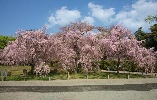 京都桜2009-8