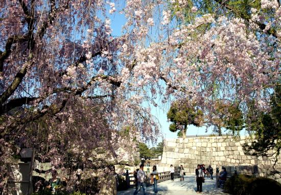京都桜2009-1