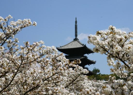 京都桜2009-10