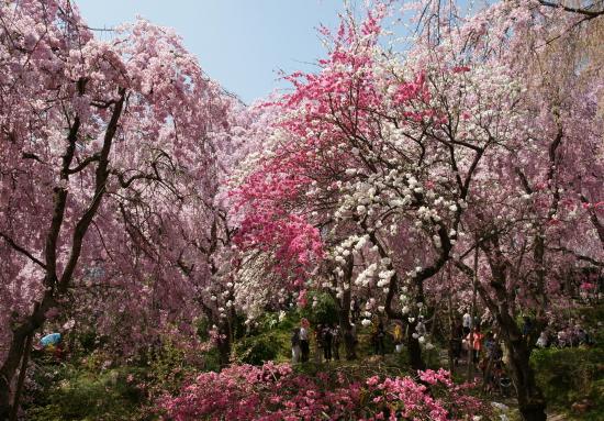 京都桜2009-6