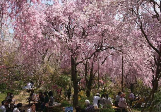 京都桜2009-7