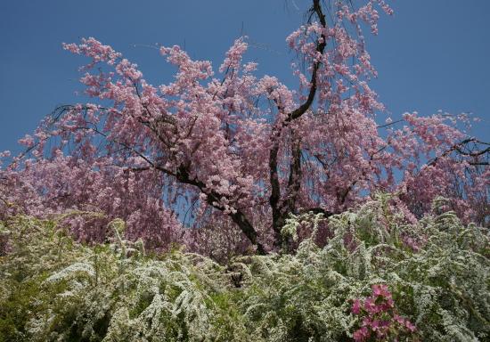 京都桜2009-5