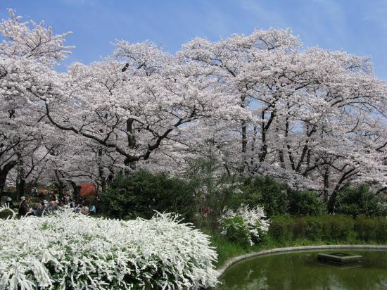 京都桜2008-2