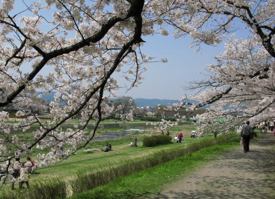 京都桜2008-1