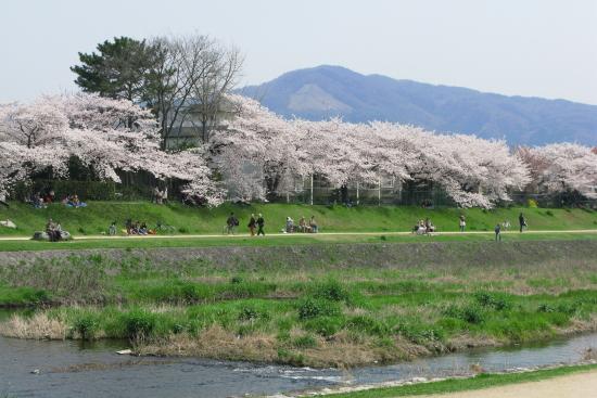 京都桜2008-9