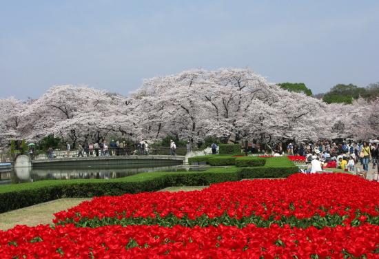 京都桜2008-8