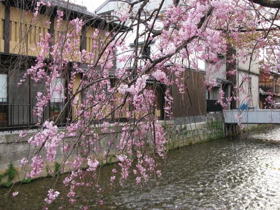 京都桜2008-01