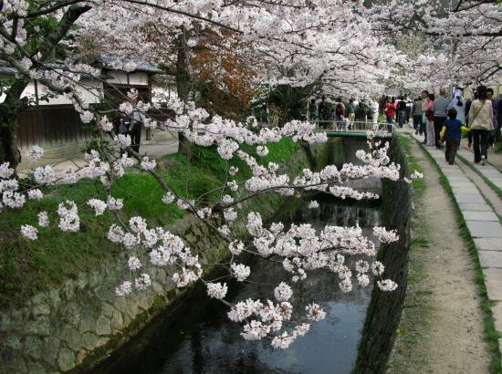 京都桜2008-03