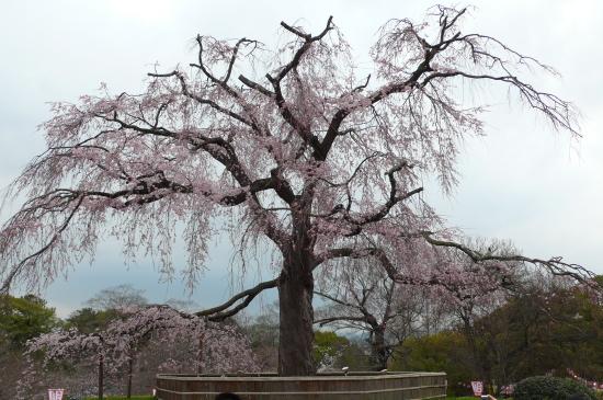 京都桜2007-6