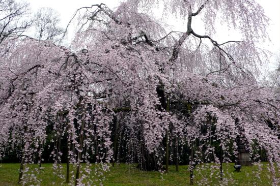京都桜2007-2