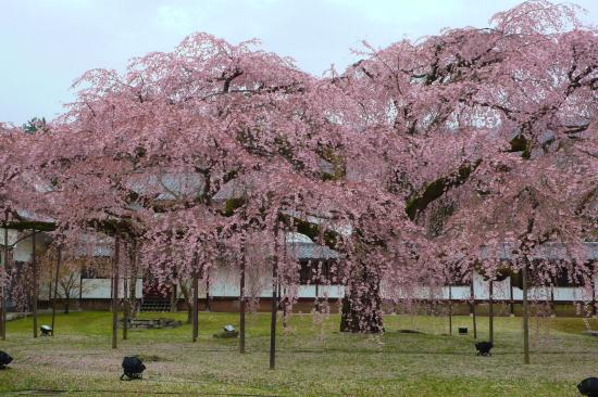 京都桜2007-1