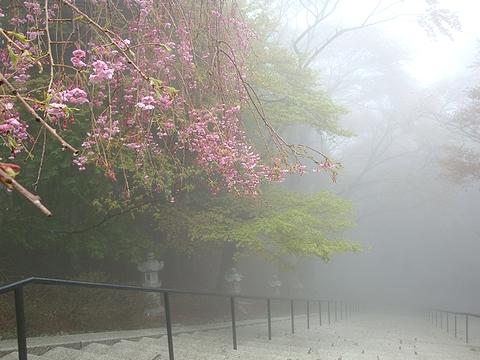 霧雨で幻想的な桜