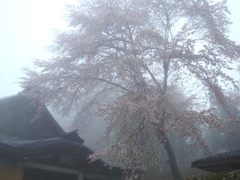 延暦寺の桜1