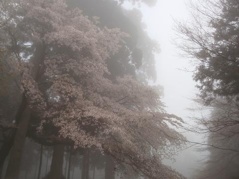 延暦寺の桜2
