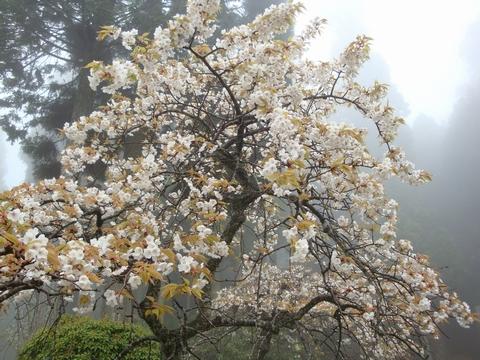 延暦寺の桜3