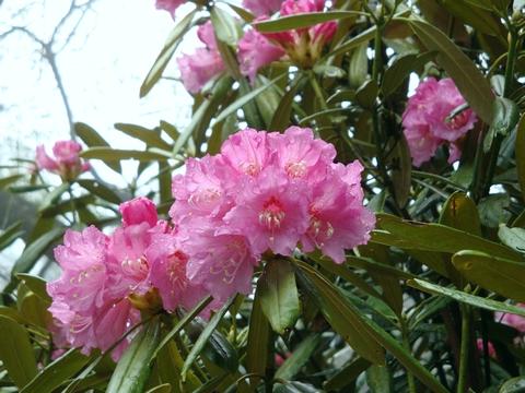 石楠花は滋賀県の県花