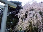 乃木神社枝垂桜