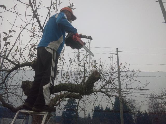 リンゴ伐採1