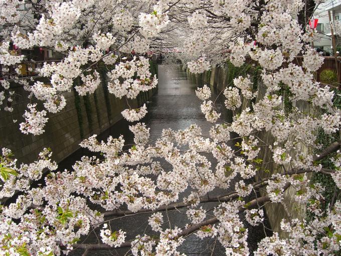 sakura_20090415180240.jpg
