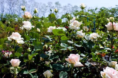 rose_9.jpg