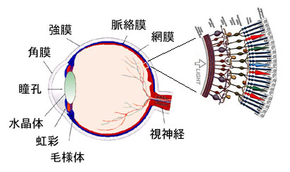 eyeball and retina