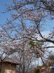 駐車場前桜