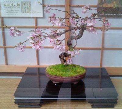 春の盆栽桜