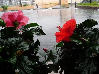 雨のハイビスカス