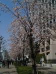 神保町 東京パークタワー前の桜