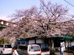 富戸駅も花盛り(20080329)