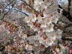中野通りの桜(2009/4/5)