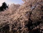 哲学堂公園の桜(2009/4/5)
