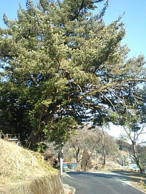 20110203笠山中腹福島のマキ.JPG
