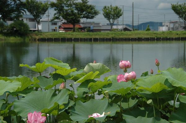 大賀連の池・・