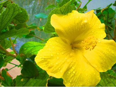 ハワイ州花『ハイビスカス』