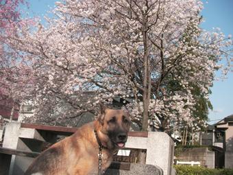 桜とシンディ