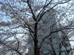 2006年桜1