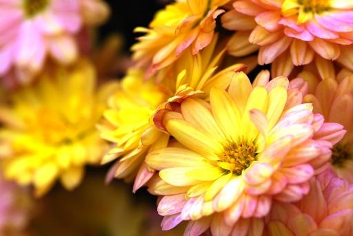 あったかい色の菊